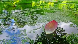 青原寺の蓮田を流れる蓮の花びらとアメンボ