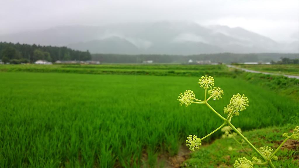 ウドの花と雨降りの田んぼ