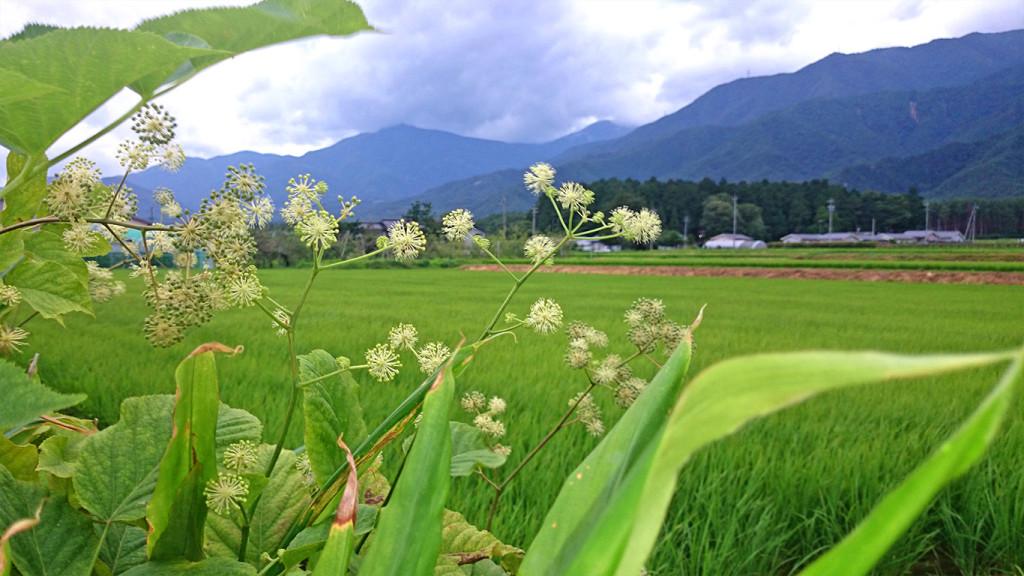 ウドの花が咲く安曇野の風景