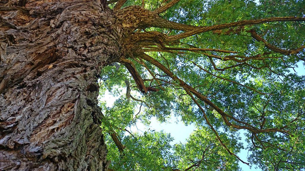 久保田公園の柳の大木1