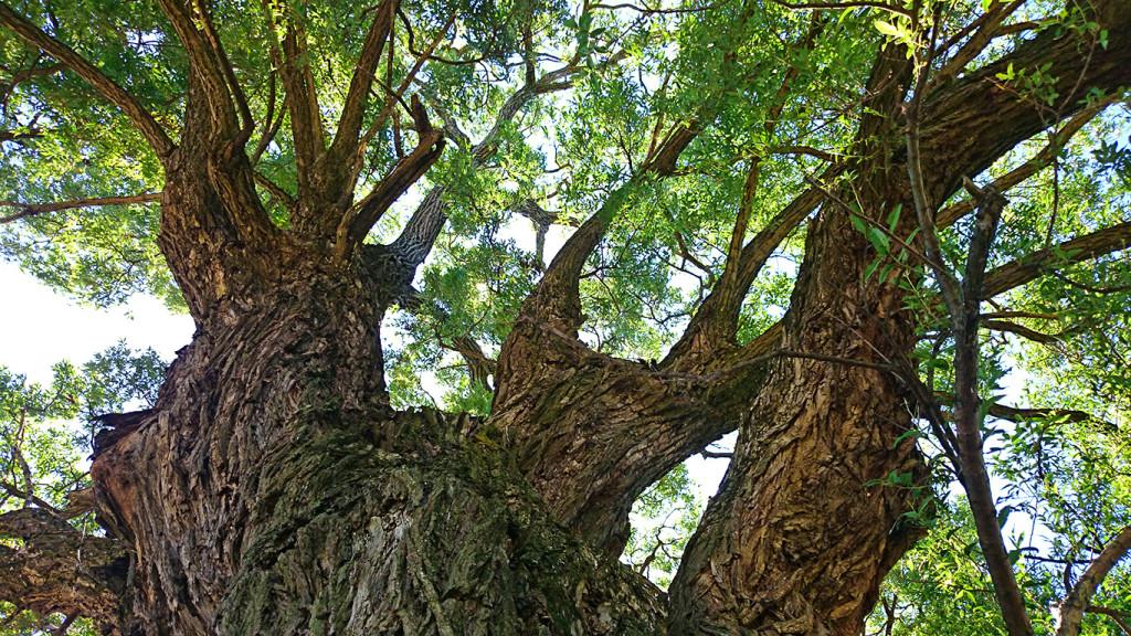 久保田公園の柳の大木2