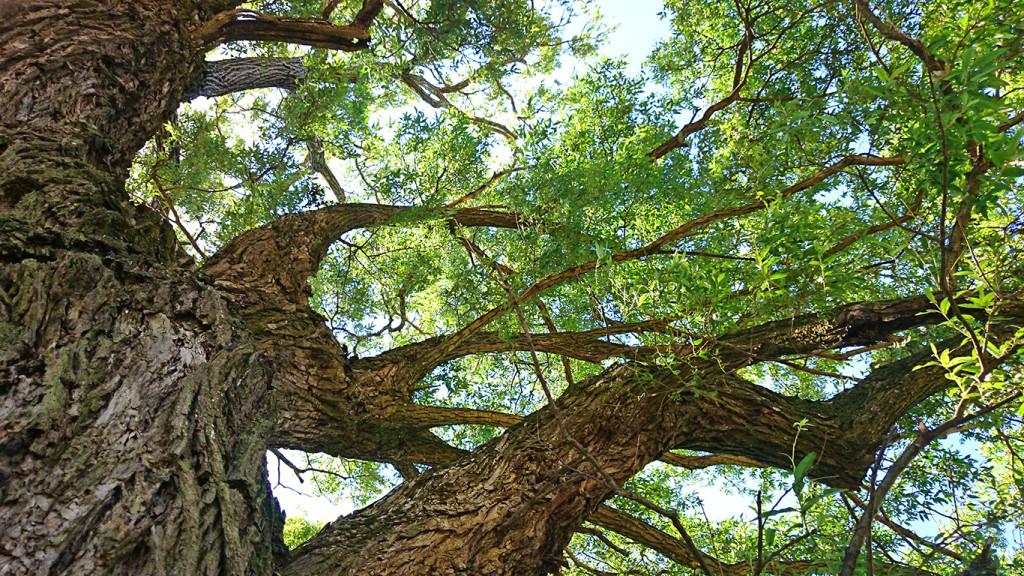 久保田公園の柳の大木3