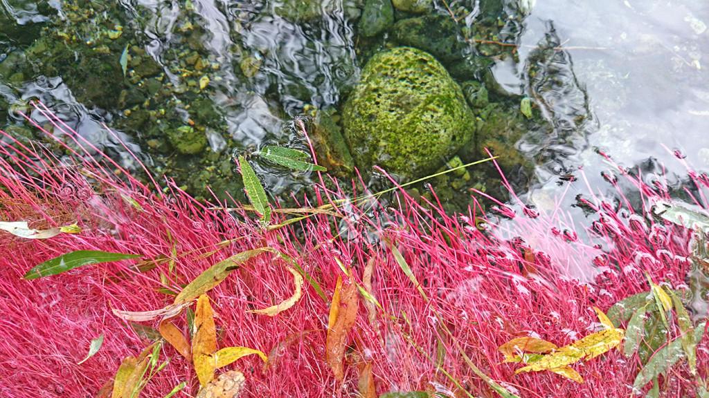 ショッキングピンクになった安曇野わさび田湧水群公園の柳の根
