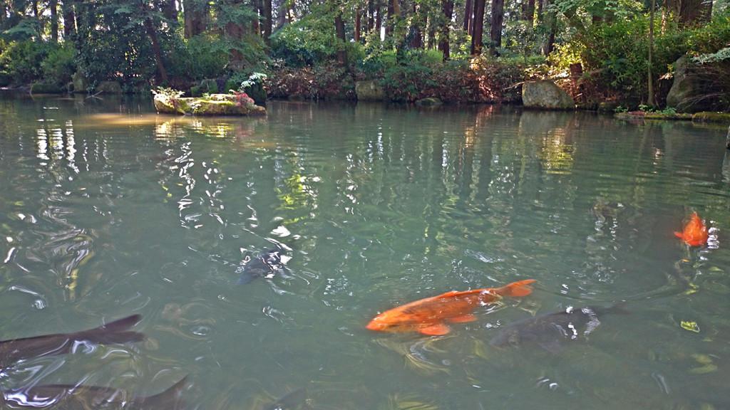 穂高神社境内の池を泳ぐ鯉