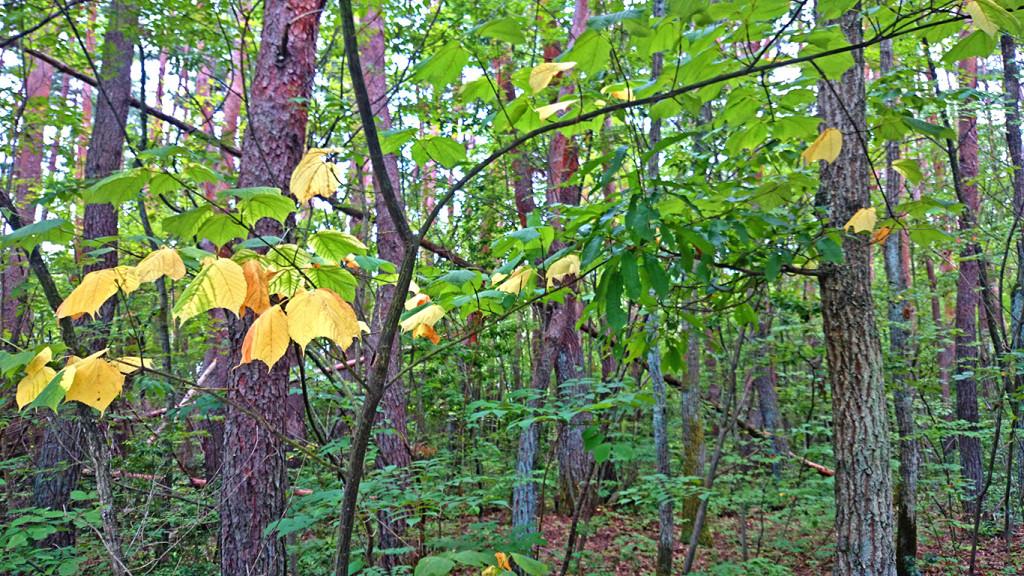 お盆過ぎの黄葉