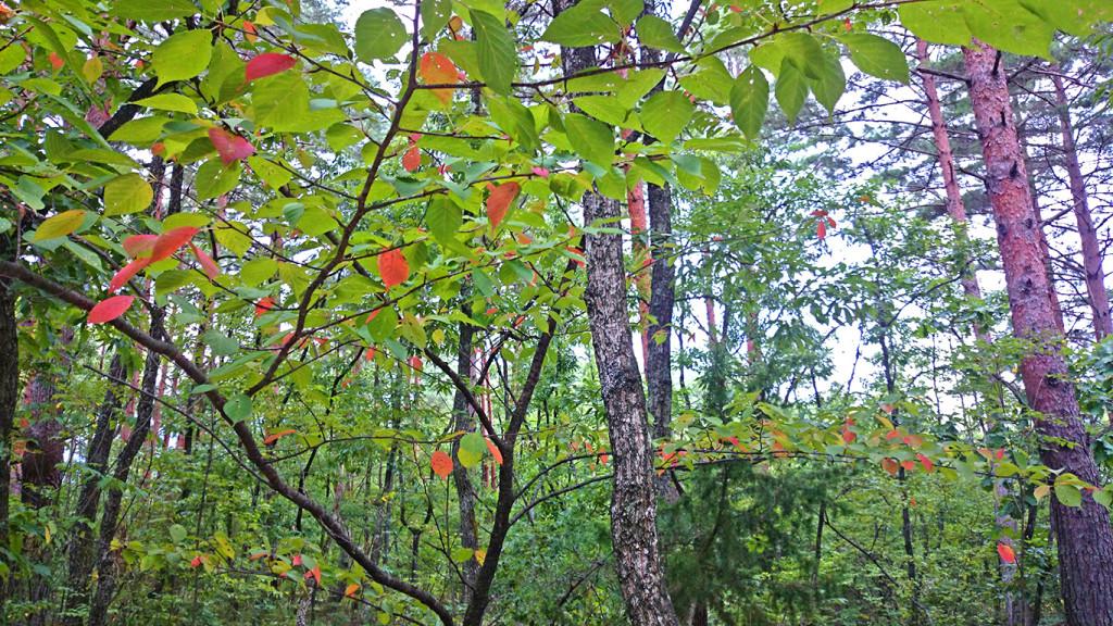 お盆過ぎの紅葉