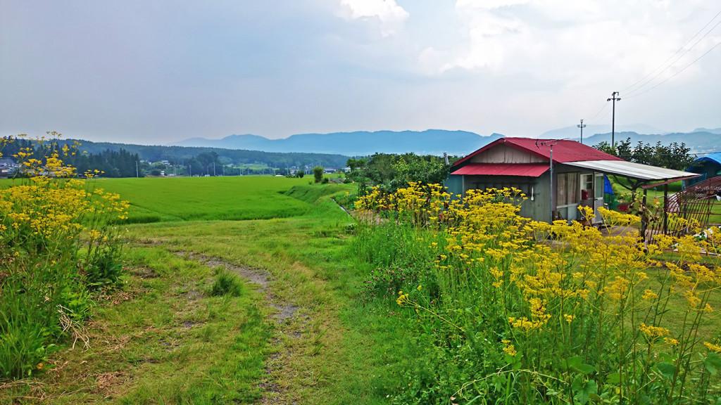 女郎花が咲く田園風景