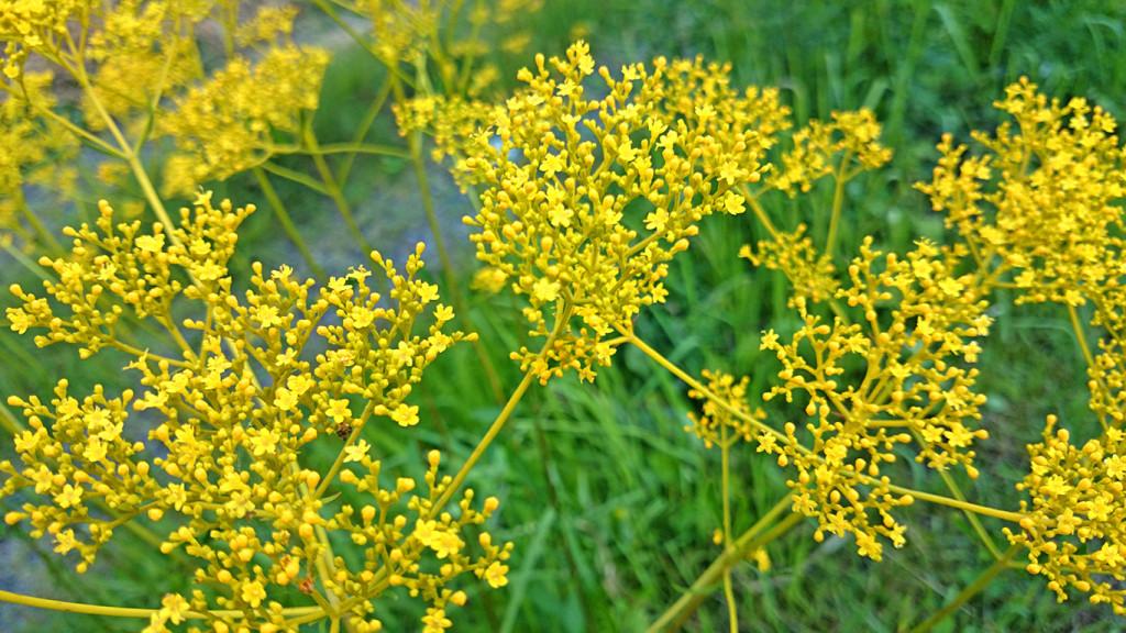 女郎花(オミナエシ)の花