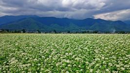 真っ白に花が咲く三郷住吉付近の蕎麦畑