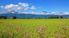 藤袴(フジバカマ)と有明山