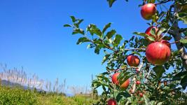 赤く実ったリンゴとススキと秋の青空