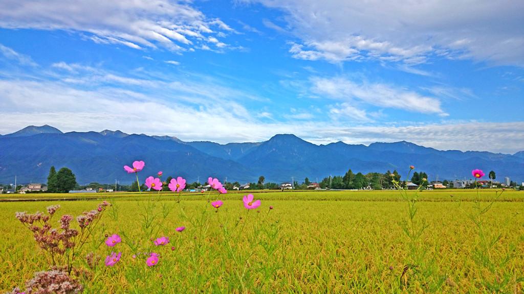 秋桜・秋の空・色づいた田んぼと有明山
