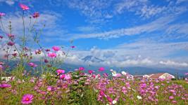 雲の上に顔を出す有明山とコスモスの花