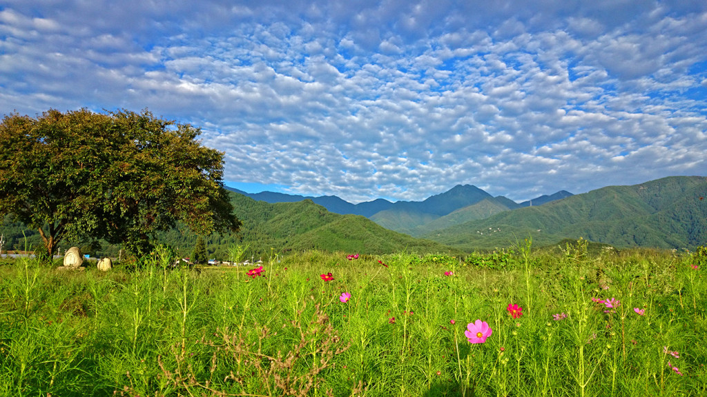 秋桜と秋の空と常念岳