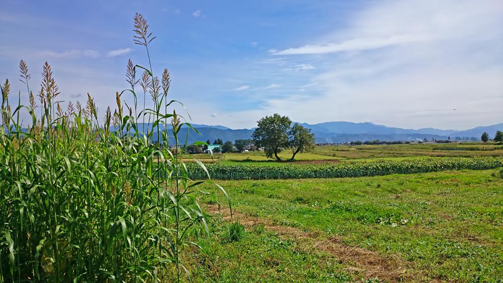 ソルガム(コウリャン)畑の横からの田園風景