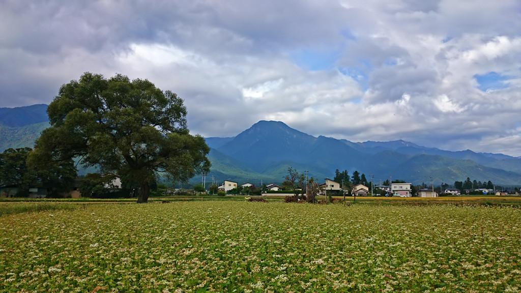 色づき始めた蕎麦畑・柳の大木・有明山