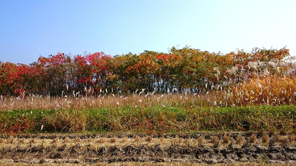 チガヤの穂とススキと赤くなったヌルデの葉