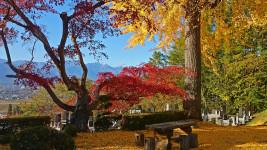 長福寺のイチョウの黄葉とカエデの紅葉の間からアルプスを