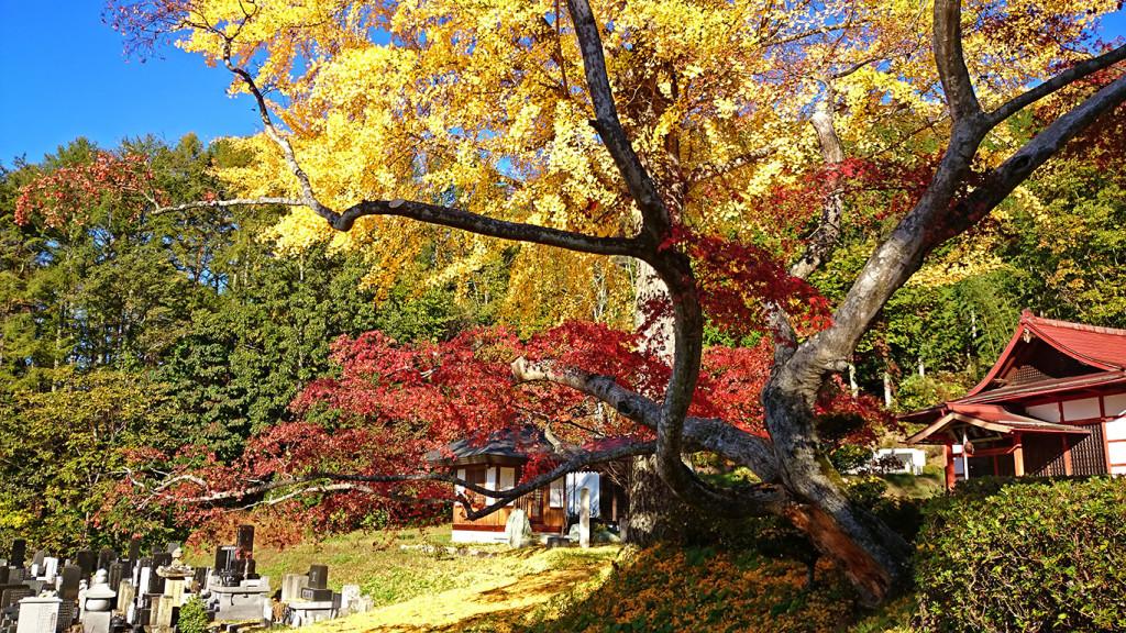 長福寺のイチョウの黄葉とカエデの紅葉