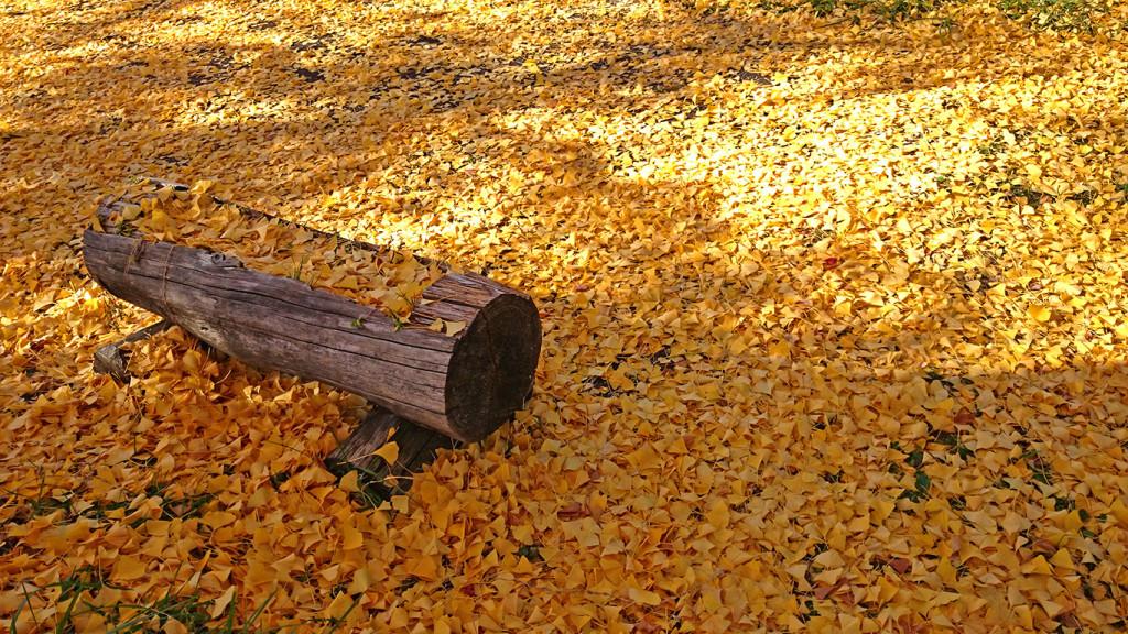 長福寺一面の黄色いイチョウの落葉