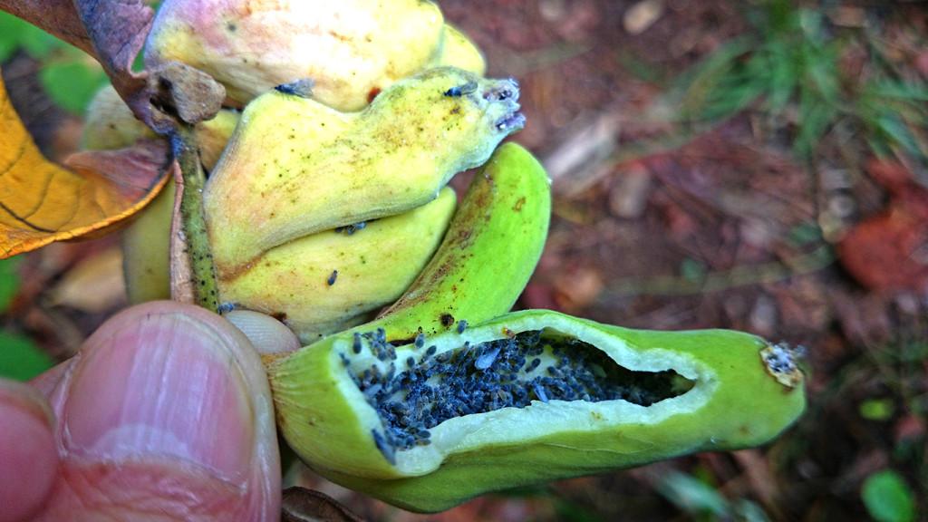 虫こぶの中 ヌルデシロアブラムシ