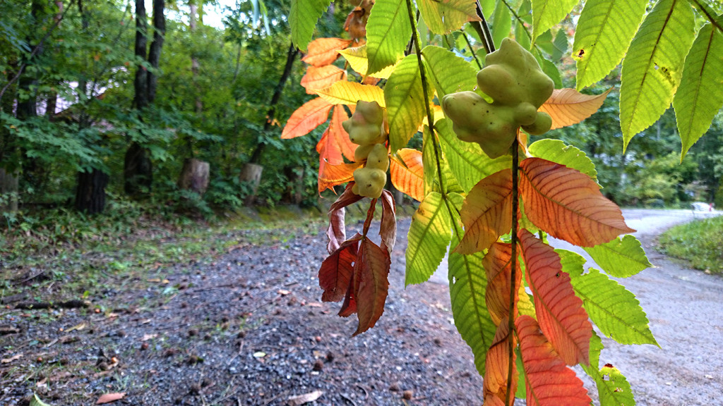 虫こぶのついたヌルデの葉は早めに紅葉。