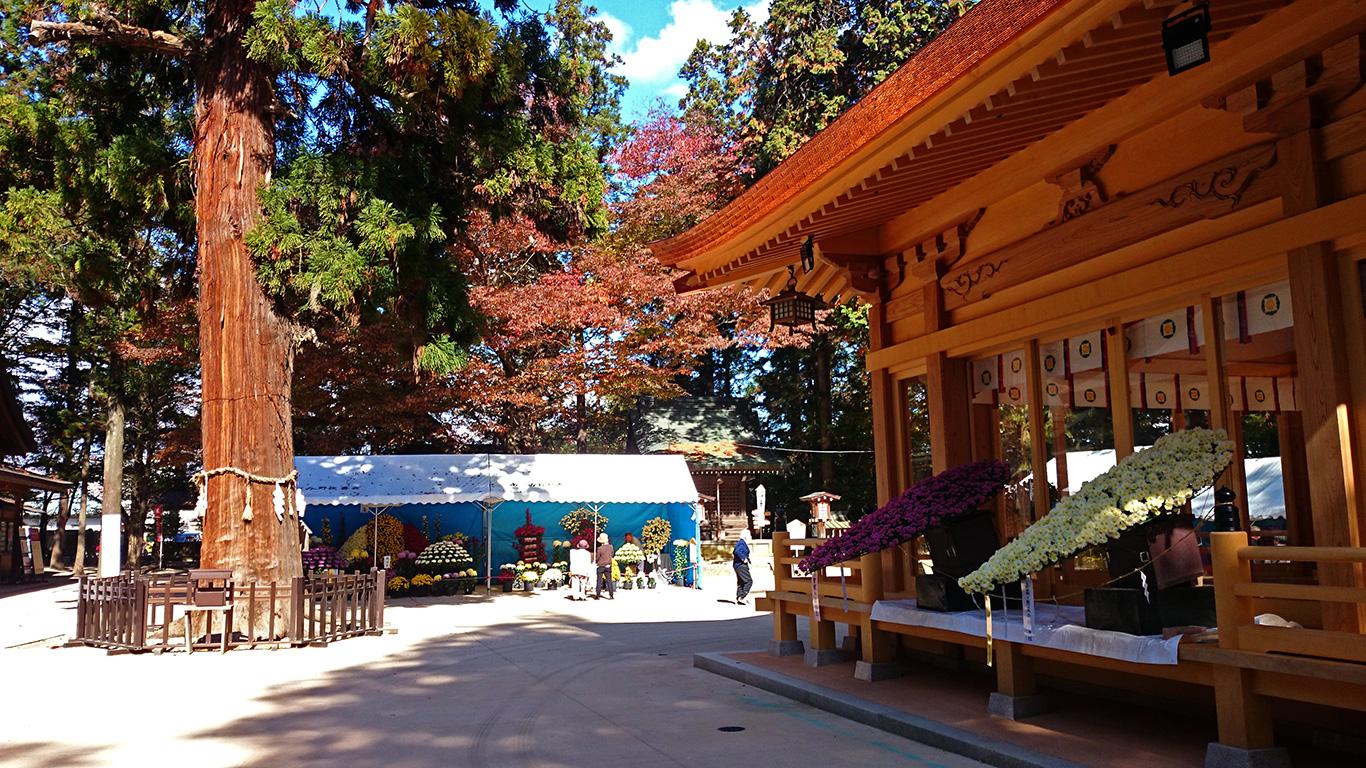 穂高神社神楽殿の菊