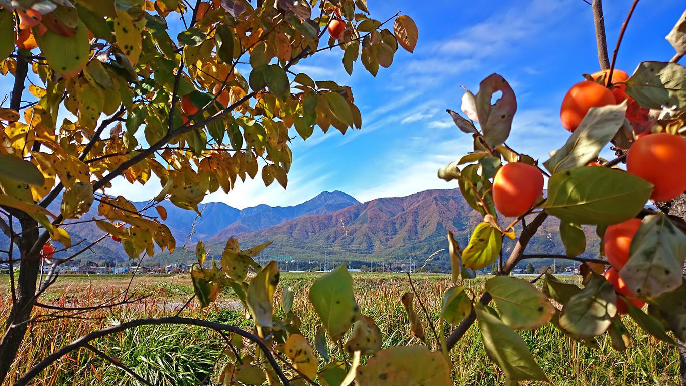柿の実と常念岳