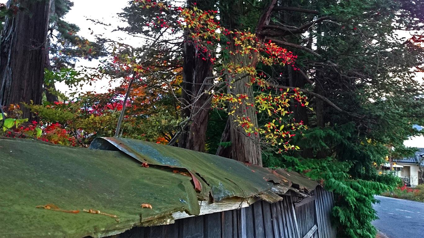 松川村にて朽ちた木の塀と赤い木の実