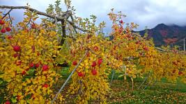 リンゴの黄葉