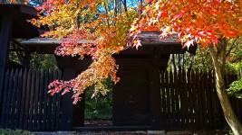 小岩嶽城址公園模擬門前のカエデの紅葉