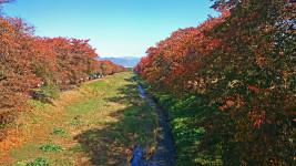 黒沢川沿いの桜の紅葉