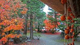 高橋節郎生家の紅葉と吊るし柿