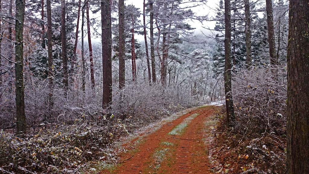 雪化粧したカラマツとアカマツ林の轍