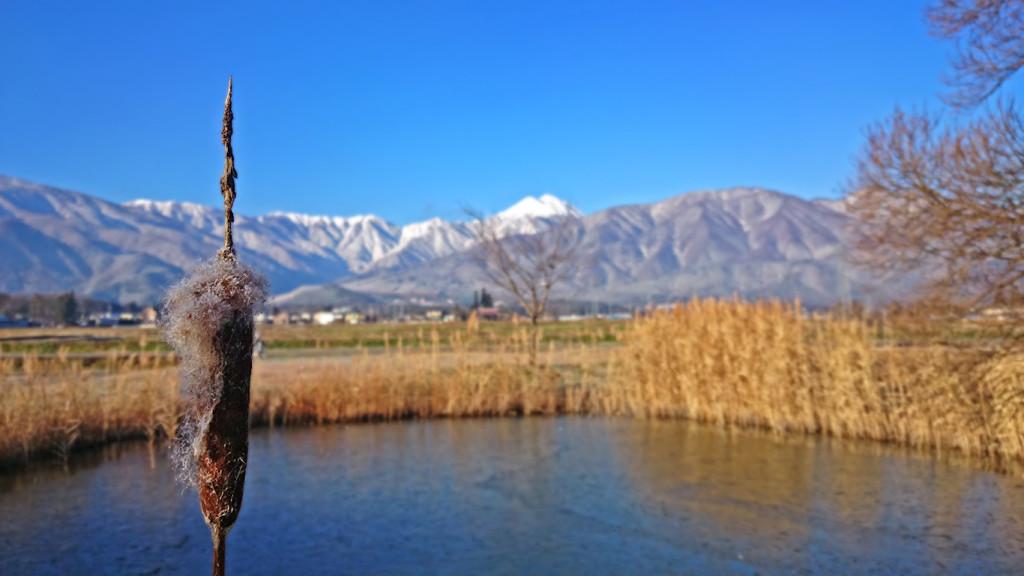 凍った池のふちに佇むほけたガマの穂と常念岳