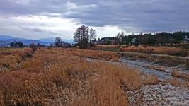 松川村濁橋からの川原の枯れススキの風景