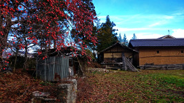柿と農家の古い納屋