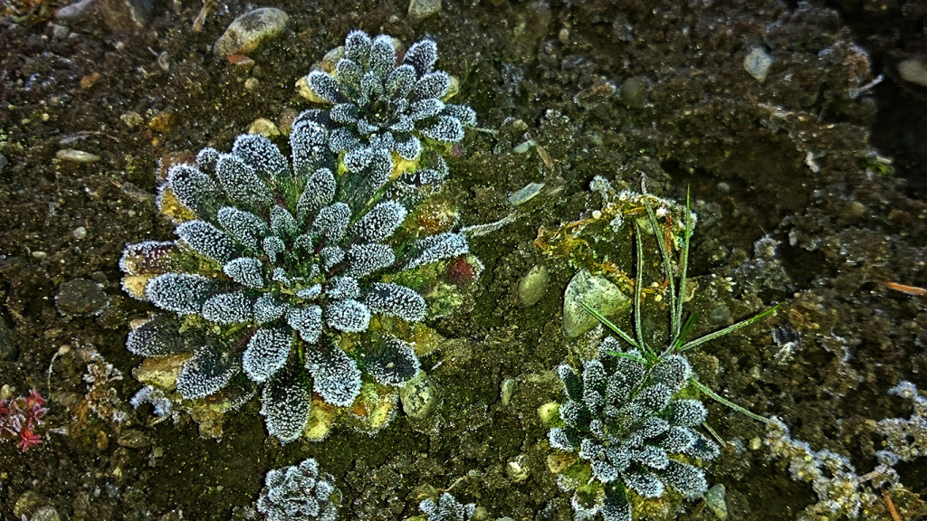霜がついたロゼット状の葉