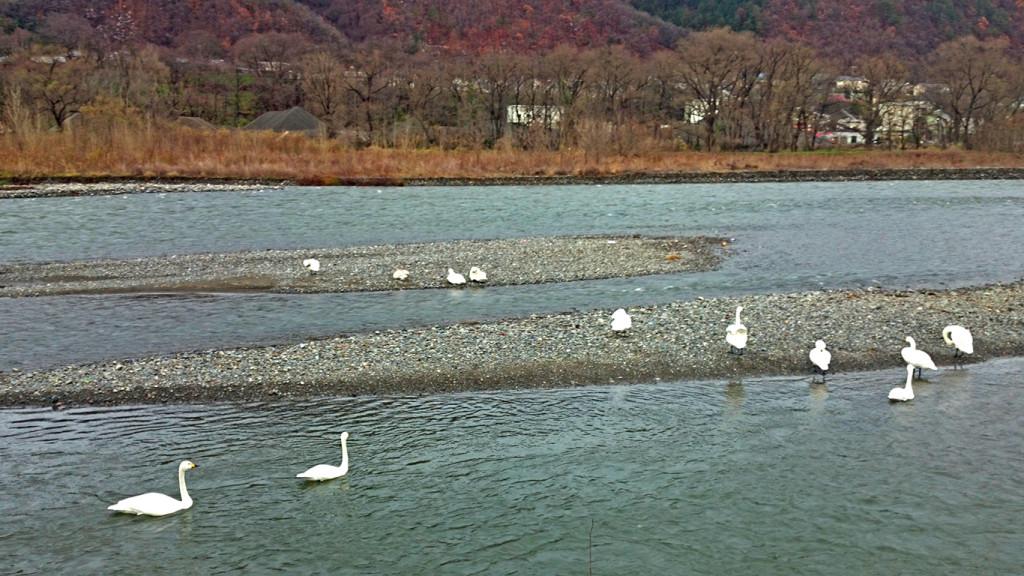 犀川白鳥湖の白鳥