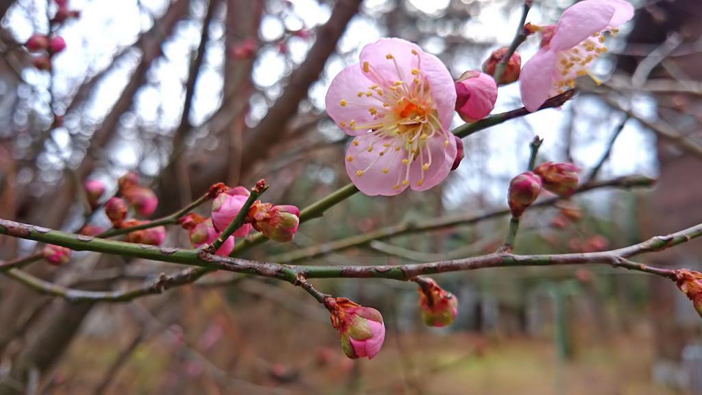 12月の終りに咲いた梅の花