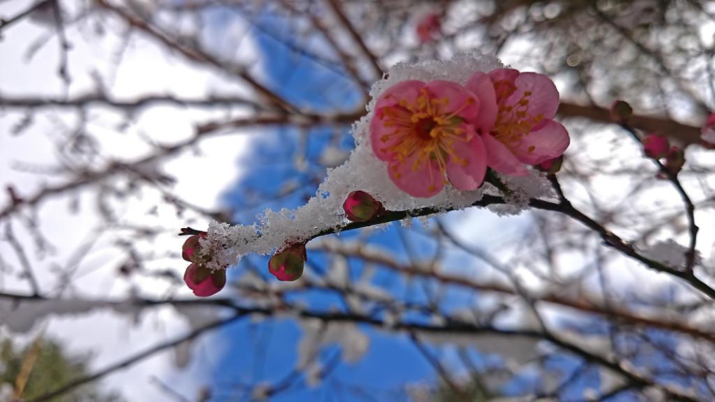 年末の雪の中に咲く梅の花2