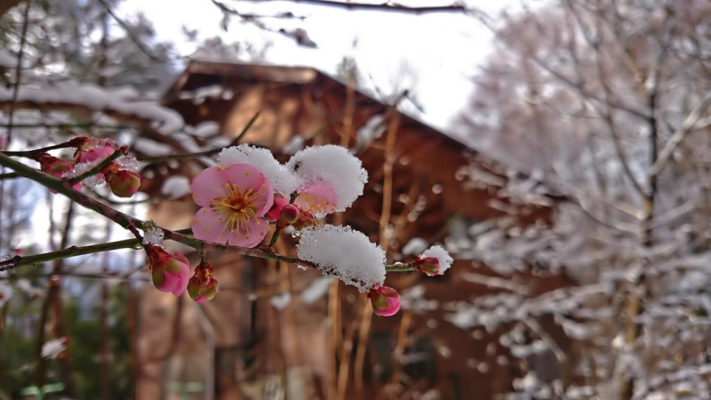 年末の雪の中に咲く梅の花1