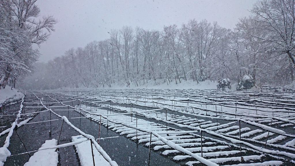 雪のわさび田