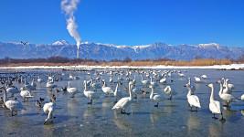 凍った御宝田遊水池の白鳥1
