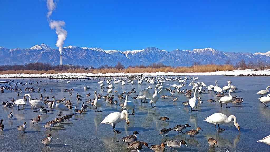 凍った御宝田遊水池の白鳥とカモ