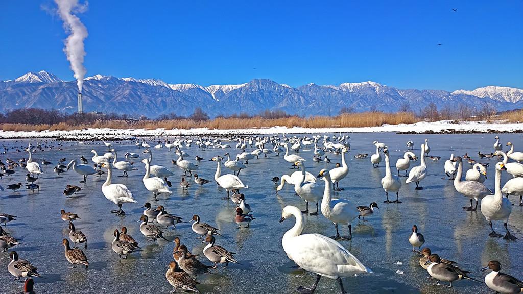 御宝田遊水池の氷の上の白鳥とカモ
