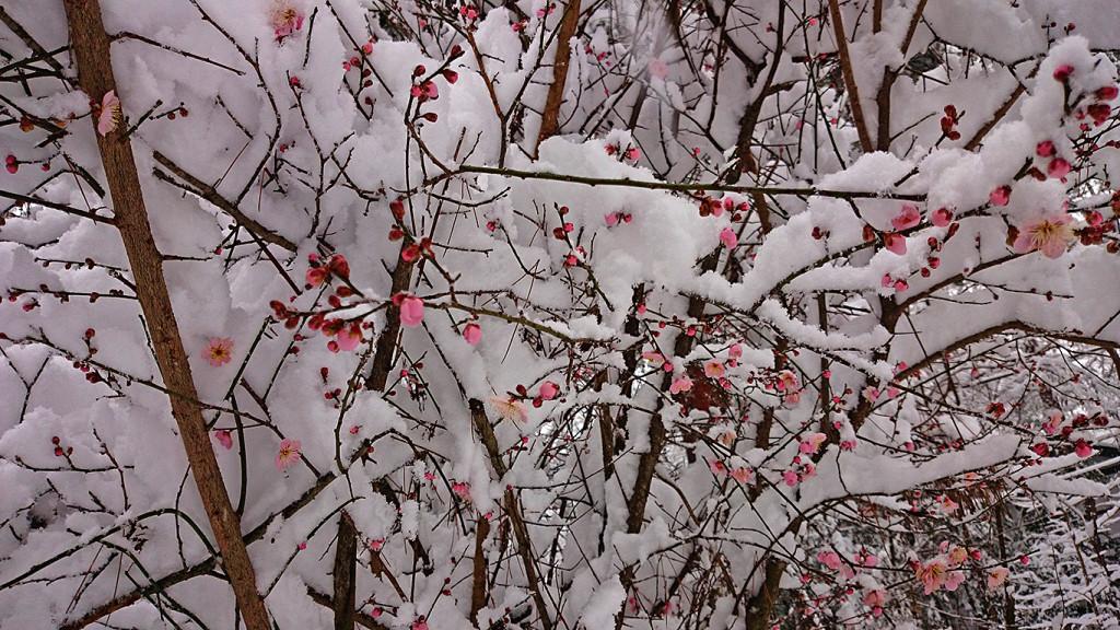 雪を被った家の庭の梅の花