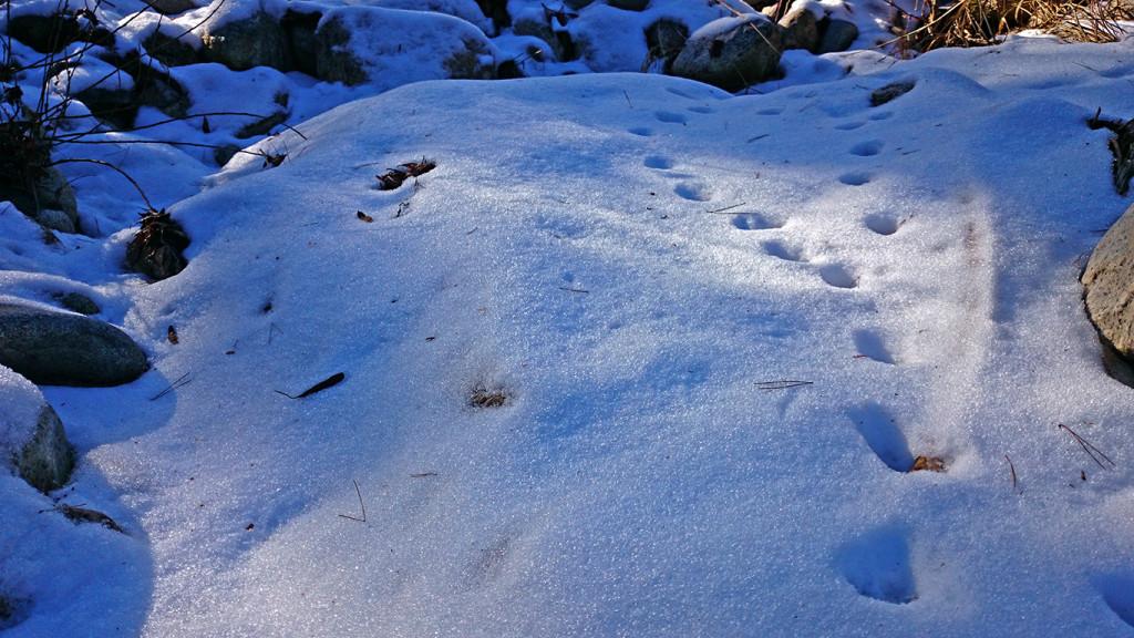 中房川の雪の上に残されたお猿の足跡