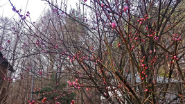我が家の1月に全体的に蕾が膨らみ始めた梅の木