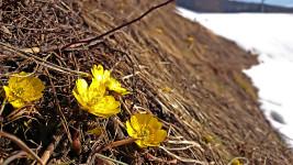 雪解けの田んぼの土手に咲く福寿草